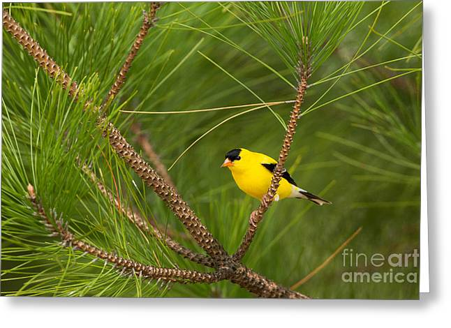 Northwoods Greeting Cards - American Goldfinch Carduelis Tristis Greeting Card by Linda Freshwaters Arndt
