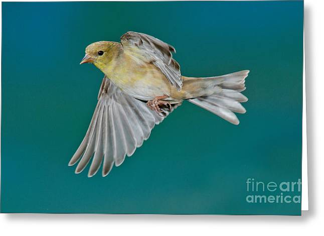 Canary In Flight Greeting Cards - American Goldfinch Hen In Flight Greeting Card by Anthony Mercieca
