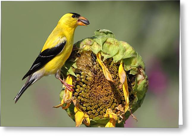 Yellow Sunflower Pyrography Greeting Cards - American Goldfinch on Sunflower Greeting Card by Daniel Behm