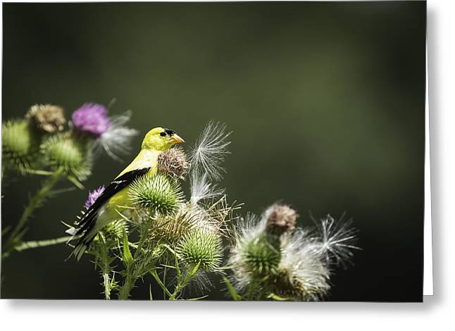 American Goldfinch Greeting Cards - American Goldfinch On Thistle Greeting Card by Thomas Young