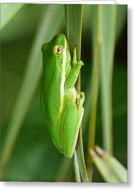 Kim Pate Greeting Cards - American Green Tree Frog Greeting Card by Kim Pate