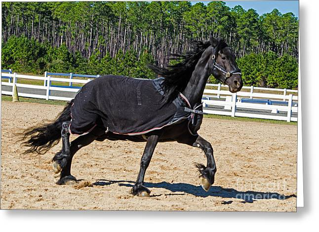 Gypsy Greeting Cards - American Gypsy Vanner Horse Exercising Greeting Card by Millard H. Sharp