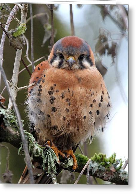 Wildlife Refuge. Greeting Cards - American Kestrel Greeting Card by Angie Vogel
