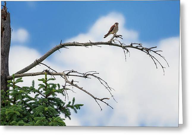 Bird Of Prey Greeting Cards - American Kestrel Greeting Card by Bill  Wakeley