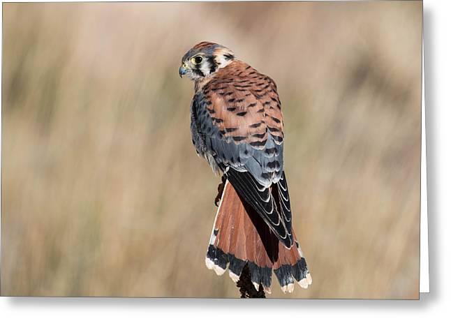 Russett Greeting Cards - American Kestrel Falcon Greeting Card by Dawn Key