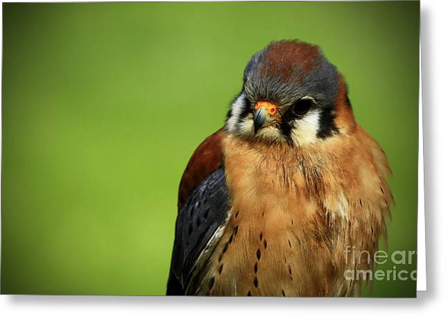 Shelley Myke Greeting Cards - American Kestrel Focus Greeting Card by Inspired Nature Photography By Shelley Myke