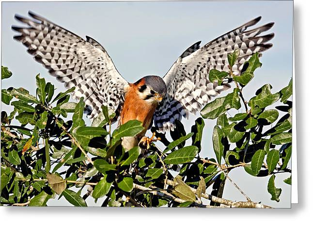 Featured Art Greeting Cards - American Kestrel II Greeting Card by Dawn Currie