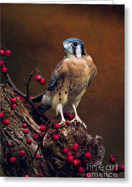Photos Of Birds Greeting Cards - American Kestrel II Greeting Card by Todd Bielby