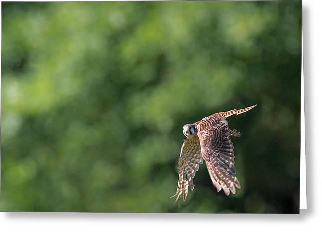 Raptor In Flight Greeting Cards - American Kestrel In Flight Greeting Card by Bill  Wakeley