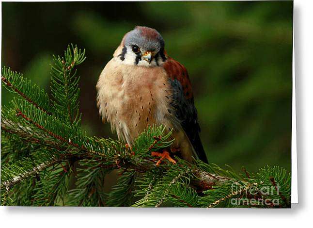 Shelley Myke Greeting Cards - American Kestrel Nestled in the Pine Forest Greeting Card by Inspired Nature Photography By Shelley Myke