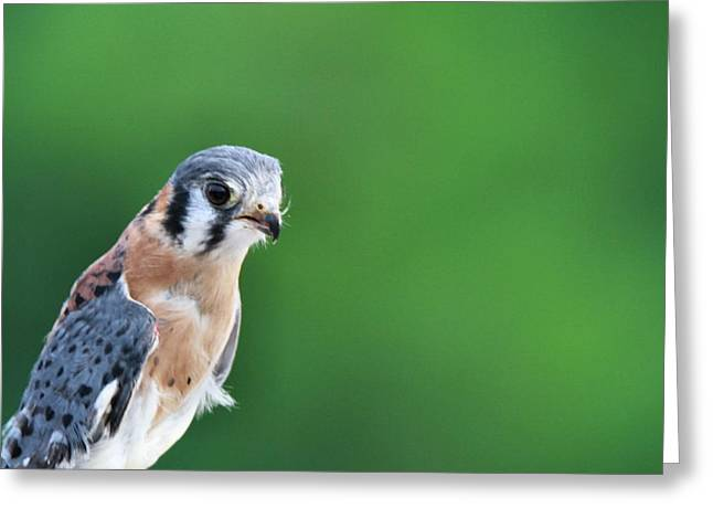 Falcon Hunting Greeting Cards - American Kestrel Portrait Greeting Card by Dan Sproul