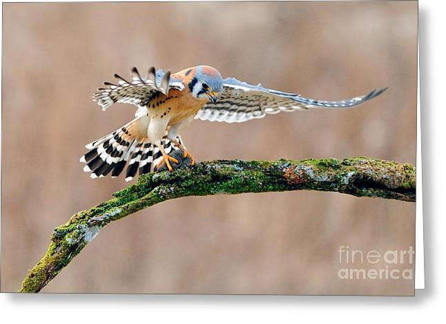 Swooping Greeting Cards - American Kestrel Greeting Card by Scott Linstead