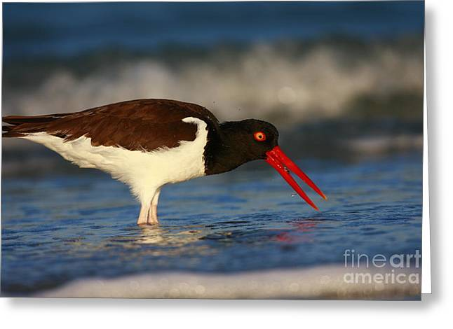 Ocean Art Photography Greeting Cards - American Oystercatcher In Surf Greeting Card by John Tsumas