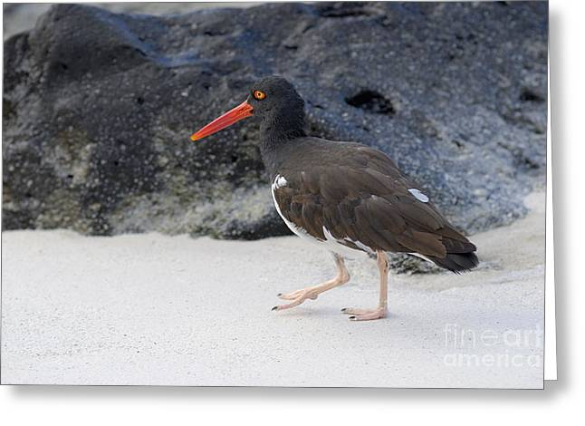 Sea Animals Greeting Cards - American Oystercatcher looking for food on beach Greeting Card by Sami Sarkis