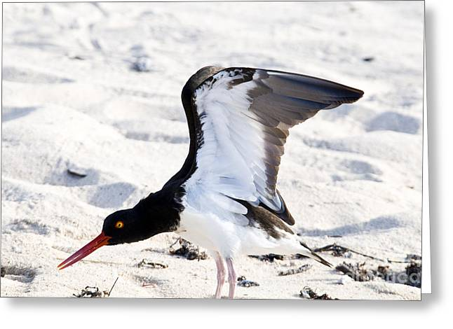 Stretching Wings Greeting Cards - American Oystercatcher Greeting Card by William H. Mullins