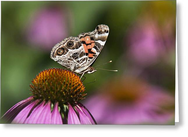 Butterfly On Flower Greeting Cards - American Painted Lady Butterfly Greeting Card by Christina Rollo