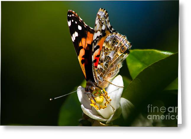 American Painted Lady Butterfly Greeting Card by Robert Bales