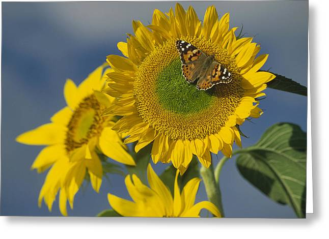Paint Photograph Greeting Cards - American Painted Lady On Sunflower New Greeting Card by Tim Fitzharris