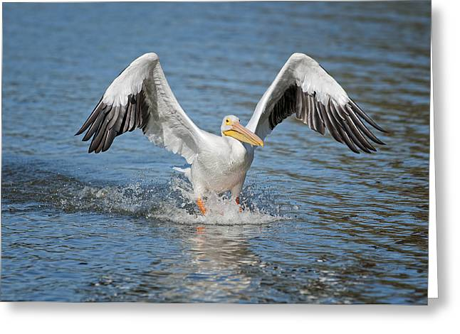 Pelican Landing Greeting Cards - American Pelican sliding in for a home run Greeting Card by Bonnie Barry