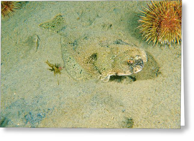 American Plaice, Or Dab Greeting Card by Andrew J. Martinez