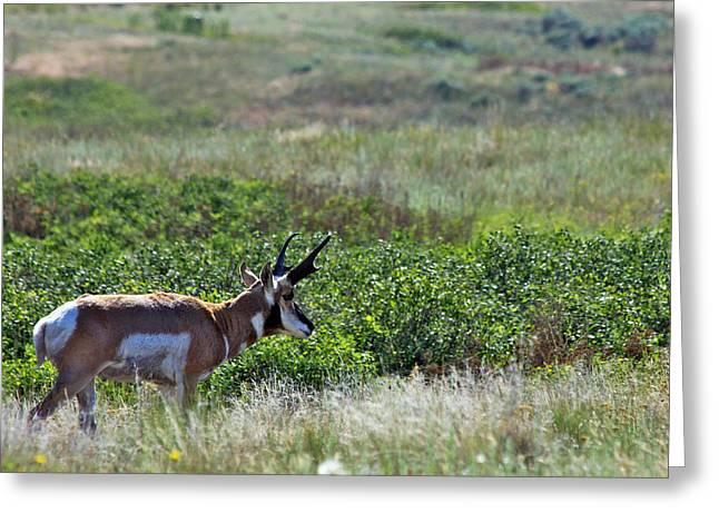American Pronghorn Buck Greeting Card by Karon Melillo DeVega