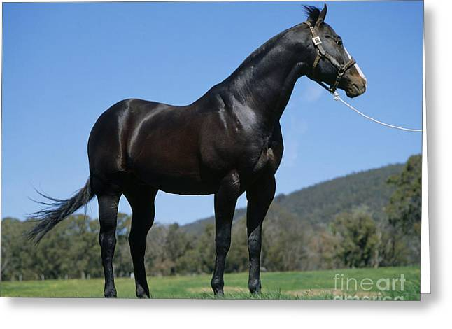 Quarter Horse Greeting Cards - American Quarter Horse In Australia Greeting Card by Jean-Paul Ferrero