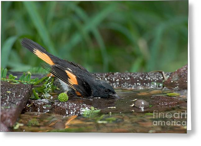 American Redstart Greeting Cards - American Redstart Greeting Card by Anthony Mercieca