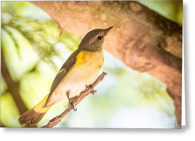 American Redstart Greeting Cards - American Redstart Greeting Card by Carl Jackson