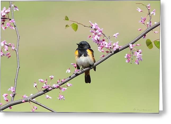 American Redstart Greeting Cards - American Redstart Greeting Card by Daniel Behm