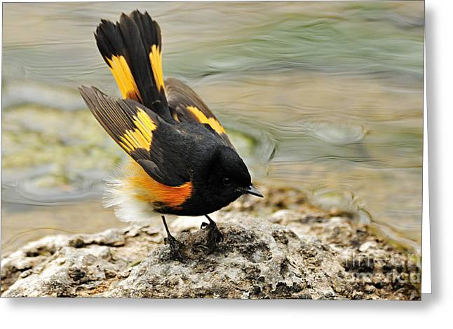 American Redstart Greeting Cards - American Redstart Greeting Card by Larry Ricker