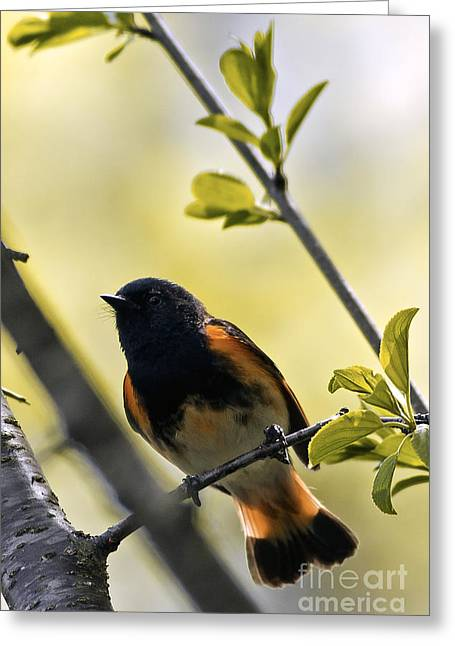 American Redstart Greeting Cards - American Redstart Greeting Card by Natural Focal Point Photography