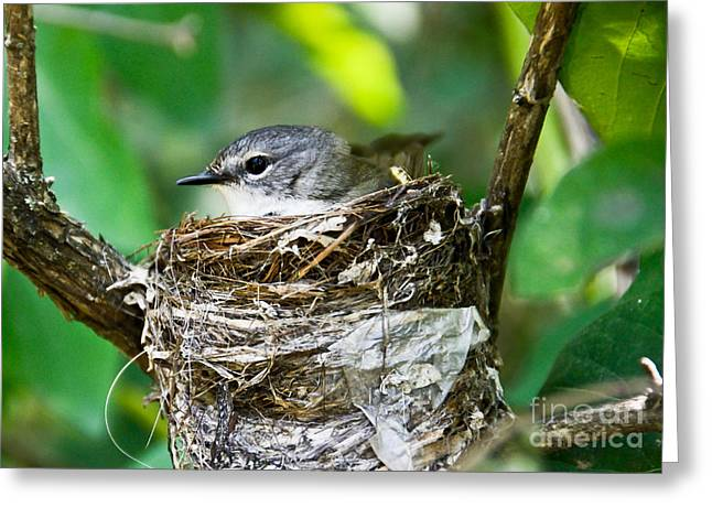 Hungry Chicks Greeting Cards - American Redstart nest Greeting Card by Cheryl Baxter