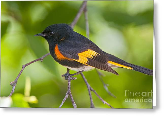 American Redstart Greeting Cards - American Redstart Pictures 39 Greeting Card by World Wildlife Photography