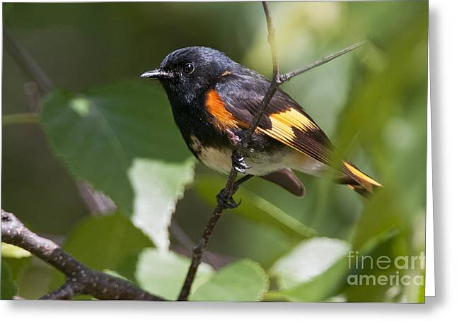 American Redstart Greeting Cards - American Redstart Pictures 41 Greeting Card by World Wildlife Photography