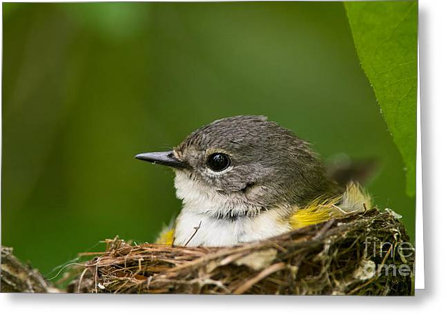 American Redstart Greeting Cards - American Redstart Pictures 47 Greeting Card by World Wildlife Photography