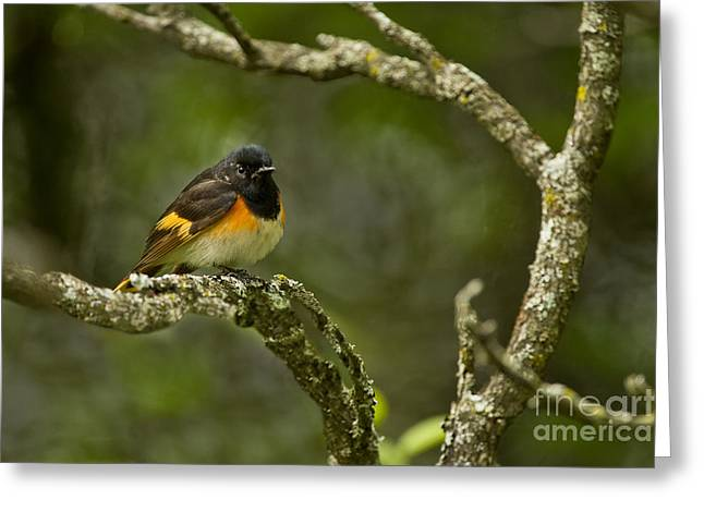 American Redstart Greeting Cards - American Redstart Pictures 54 Greeting Card by World Wildlife Photography