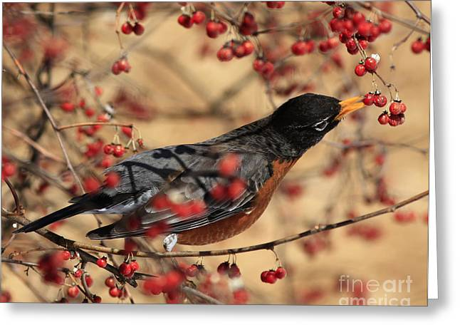 Winter Migrants Greeting Cards - American Robin Eating Winter Berries Greeting Card by Inspired Nature Photography By Shelley Myke