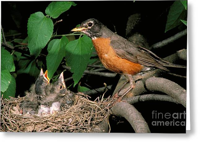 Feeding Young Greeting Cards - American Robin Feeding Its Young Greeting Card by David N. Davis