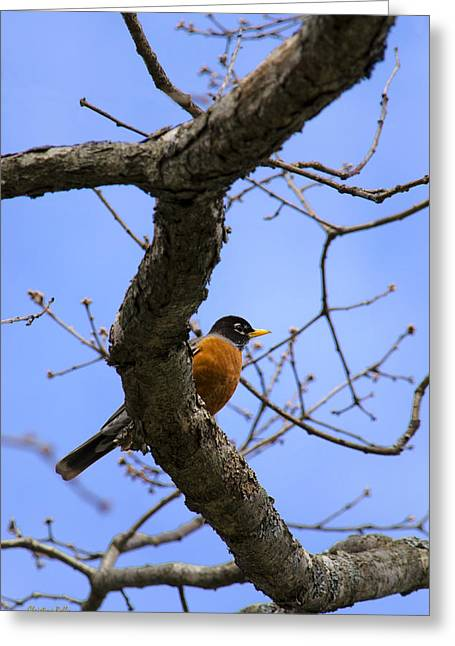 American Robin Greeting Cards - American Robin in a Tree Greeting Card by Christina Rollo