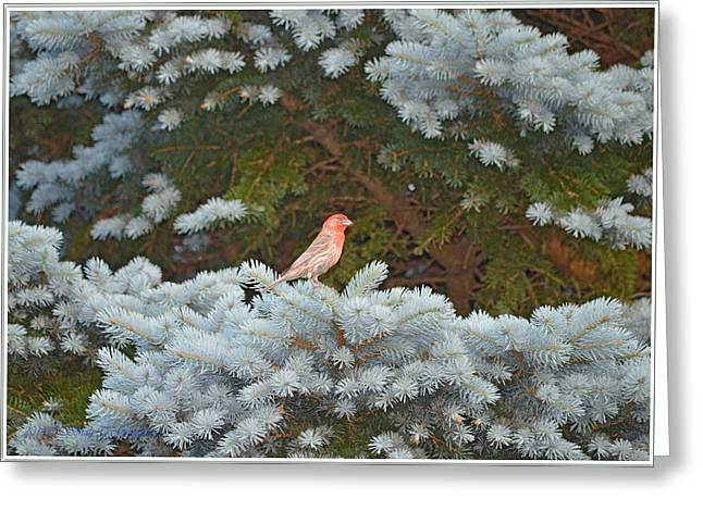 Bird Greetingcards Greeting Cards - American Rosefinch Greeting Card by Sonali Gangane