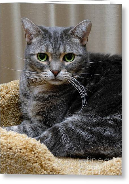 Domestic Cat Greeting Cards - American Shorthair Cat Portrait Greeting Card by Amy Cicconi