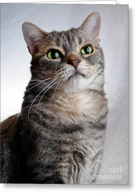 Whiskers Greeting Cards - American Shorthair Portrait Greeting Card by Amy Cicconi
