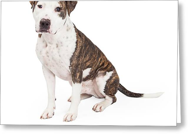 Brindle Greeting Cards - American Staffordshire Terrier Cross Dog Sitting Greeting Card by Susan  Schmitz