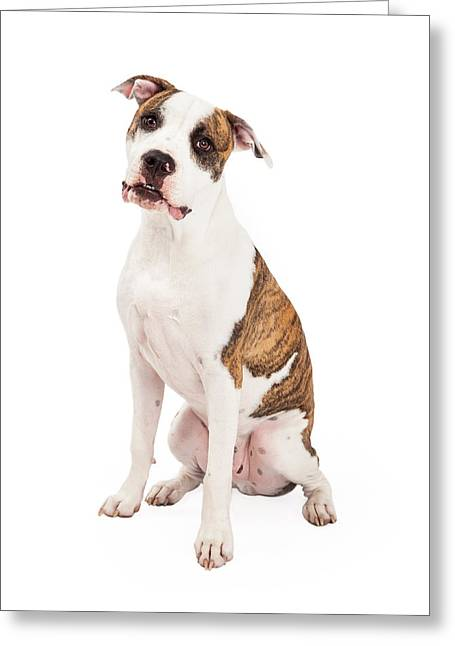 Full Body Photographs Greeting Cards - American Staffordshire Terrier Dog Sitting Greeting Card by Susan  Schmitz