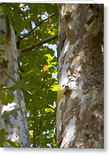 American Sycamore Greeting Cards - American Sycamore Greeting Card by Denise Beverly