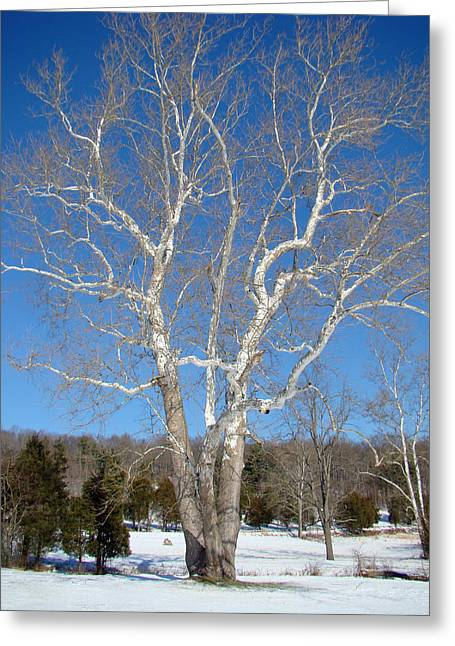 American Sycamore Greeting Cards - American Sycamore - Platanus occidentalis Greeting Card by Mother Nature