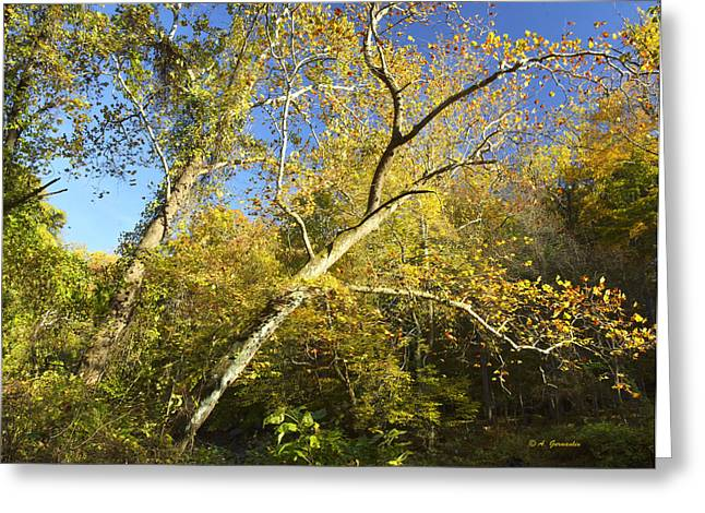 American Sycamore Greeting Cards - American Sycamore Tree in Autumn Greeting Card by A Gurmankin