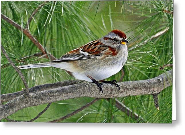 American Tree Sparrow Greeting Card by Rodney Campbell