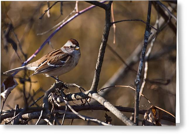 Sparrow Greeting Cards - American Tree Sparrow Greeting Card by Thomas Young