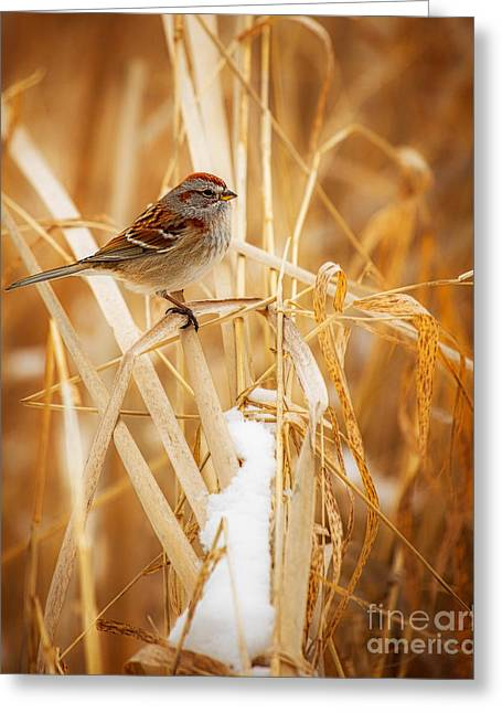 American Tree Sparrow Greeting Card by Todd Bielby